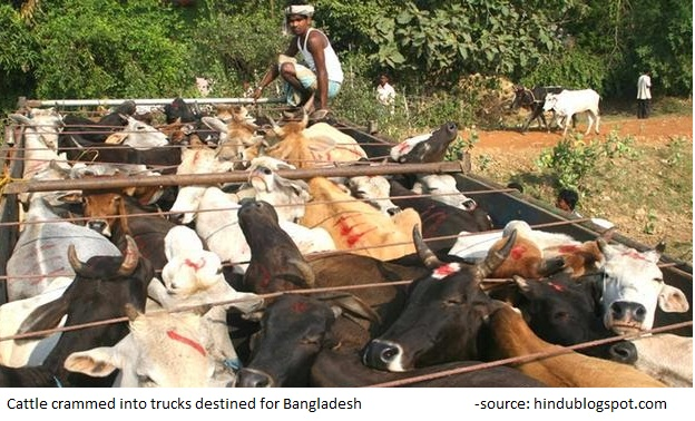 cattle smuggling2